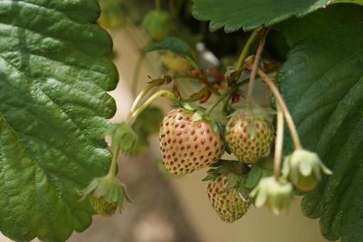 화분 재배로 키우는 딸기의 열매