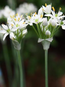 Chinese chive flower