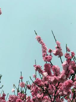 Hanamomo background