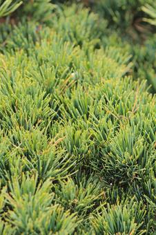 소나무 침엽수 잎 분재 정원 녹색