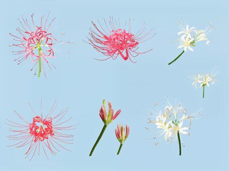 히간 꽃 PSD 3