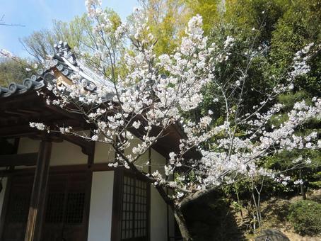 伊勢神宮附近的櫻花(高月市)