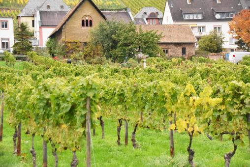 독일의 포도밭