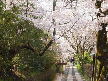 Cherry Blossom Philosophy Road