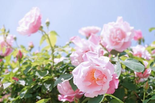 푸른 하늘과 핑크 장미