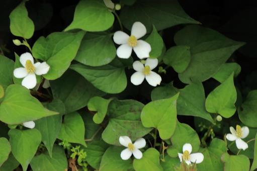 삼백초 꽃 _2