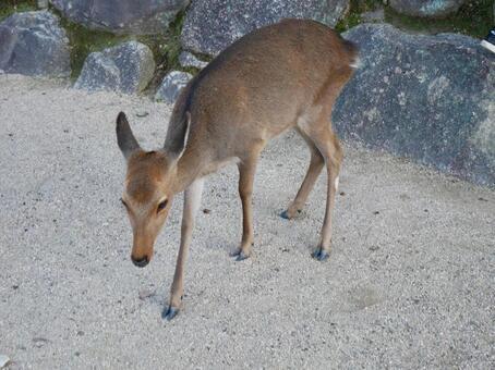미야지마의 사슴