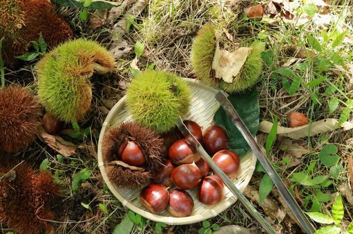Chestnut picking tongs