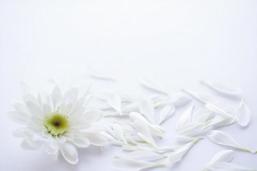 White chrysanthemum flower mourning postcard