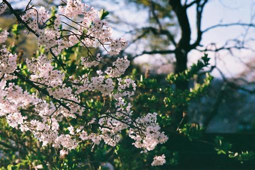 벚꽃 배경 벽지
