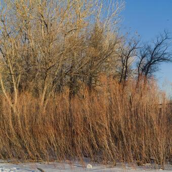 Winter trees in winter 11