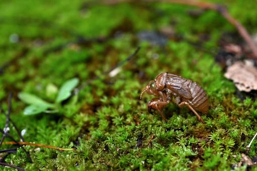 Cicada shells that fell on the moss