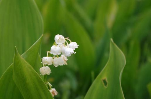 入笠山 은방울꽃