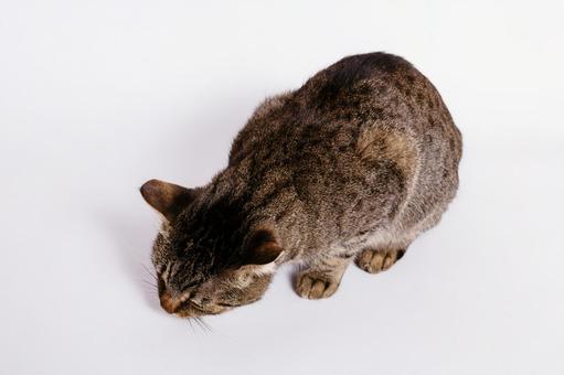 Tiger pet cat 9