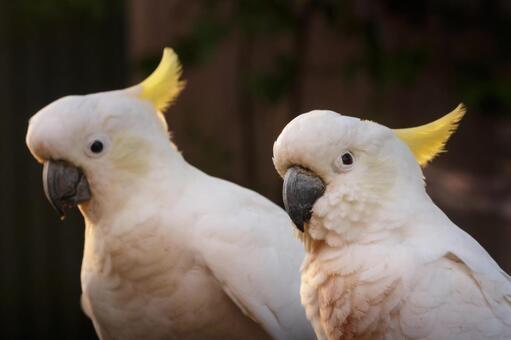 澳大利亞野生鳥類基巴坦英語名稱鳳頭鸚鵡夫婦採取早晨太陽夫婦已婚夫婦對魔術小時