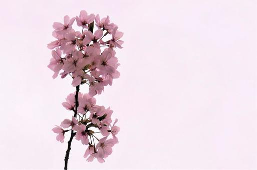벚꽃 핑크