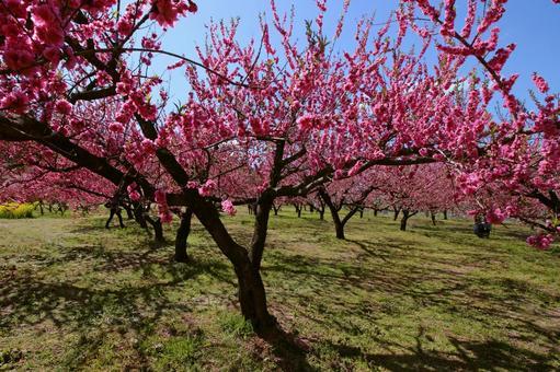 Blooming flower peach