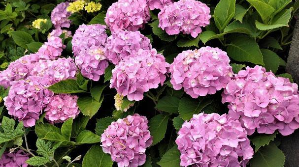 Hydrangea in the rainy season 004