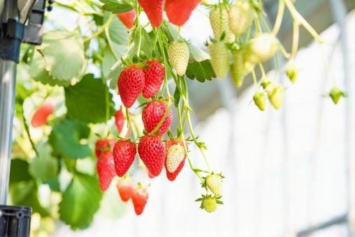 딸기 따기