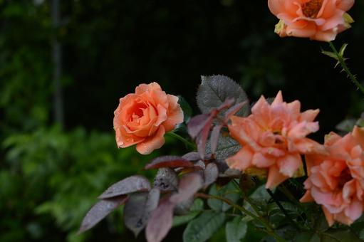 三文魚粉紅玫瑰和帶有晨露的葉子 科學名稱孟加拉語