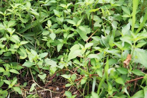 Midsummer's healthy weeds 03