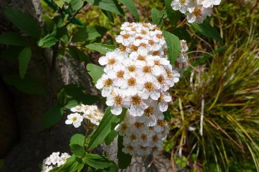 삐라칸사 꽃