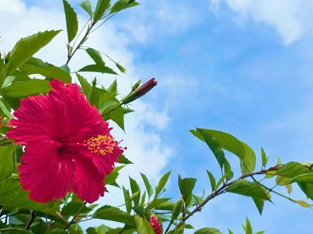 Flower material_red hibiscus and blue sky