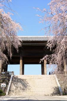 東鄉寺門和櫻花