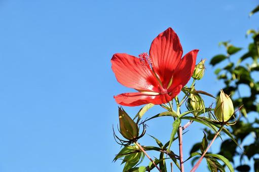 Scarlet rosemallow 06 blue sky
