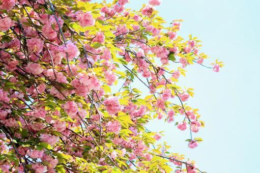 雙櫻花背景素材