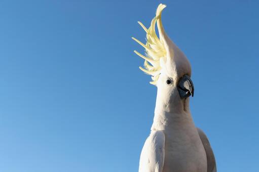 澳大利亞基巴丹野鳥英文名稱Cockatoo Morning blue sky and a parrot 4