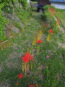 Cluster amaryllis blooming path