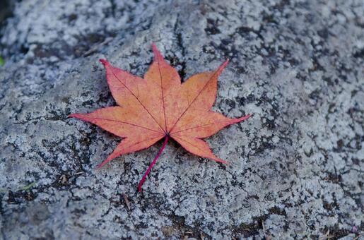Fallen leaves of Momiji