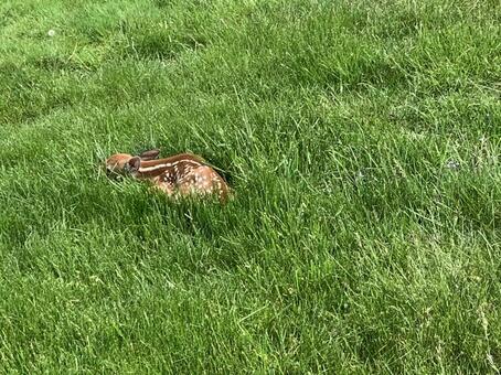 茂みにうずくまる赤ちゃん子鹿