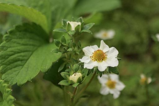딸기의 흰 꽃