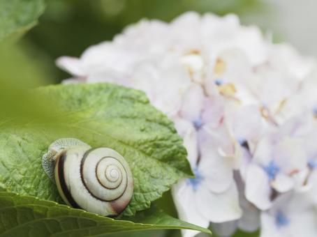 蝸牛和繡球花
