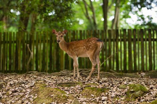 나라 공원의 사슴 008