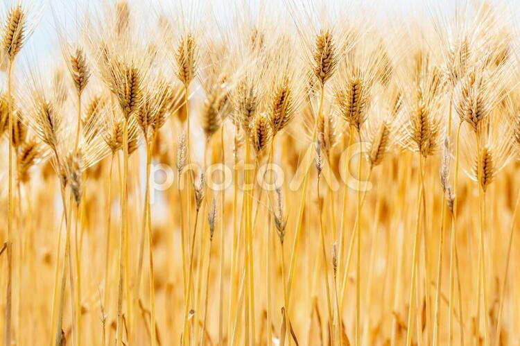 風景素材 夏の恵み 麦の穂の写真