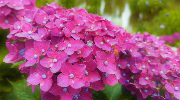 Hydrangea blooming by the pond 004