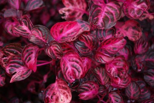 반이있는 빨간색 잎