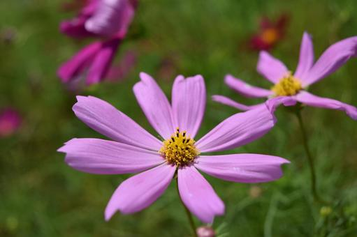 Cosmos blooming on the plateau