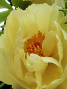 黄牡丹花3
