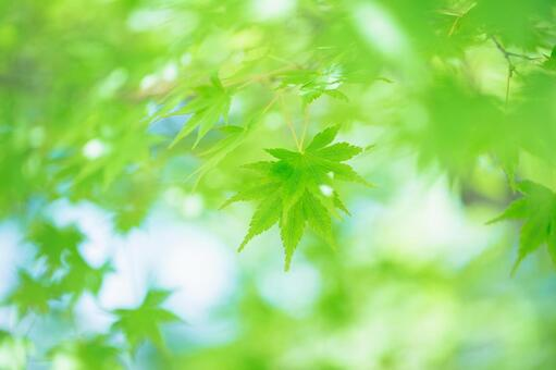 Green maple 1