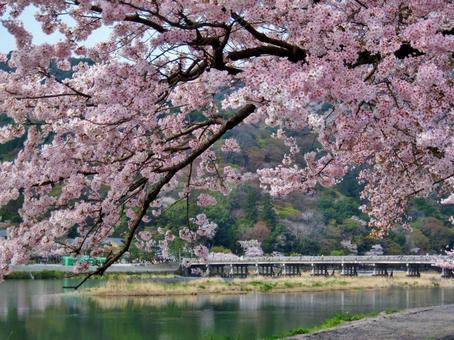 Arashiyama Sakura