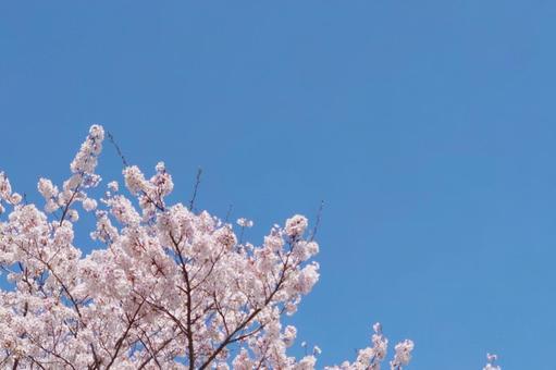 벚꽃과 푸른 하늘
