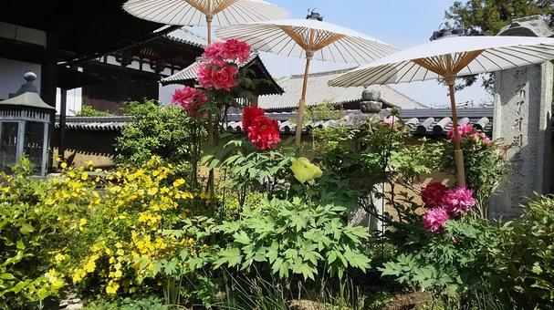 Peony blooming garden