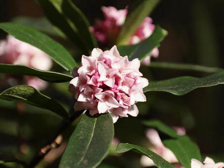 香り高い花を咲かせる沈丁花
