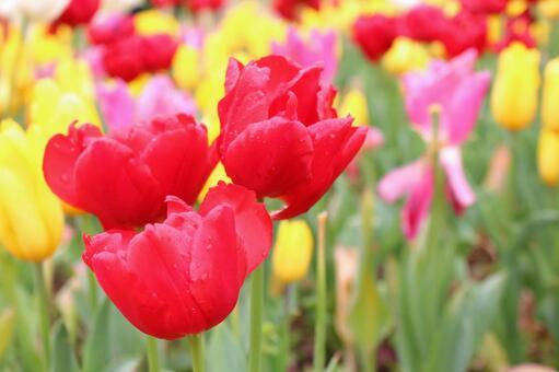 Tulip (red)