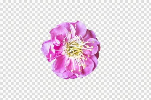 Plum blossom _ cutout PSD material