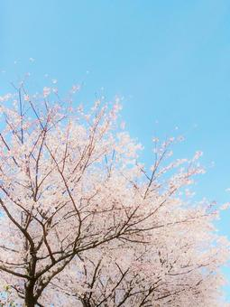 Watercolor-style background image wallpaper with sky and cherry blossoms in full bloom
